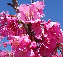 Cherry Blossoms by Bob Hardy