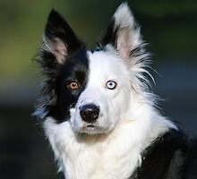 Patch-Border Collie by Photo Scotland