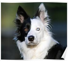 Patch-Border Collie Poster