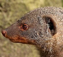 Banded Mongoose by Mark Hughes