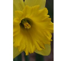 DAFODIL FIRST OF THE SEASON Photographic Print