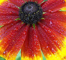 Gloriosa Daisy- Rubedeckia hitra (Asteraceae) by Tracy Wazny