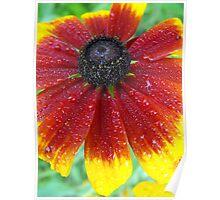 Gloriosa Daisy- Rubedeckia hitra (Asteraceae) Poster