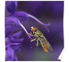 Hover Fly at Rest Poster
