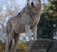 Wolf by Declan Carr