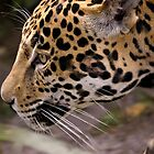 Stalking Jaguar by Timothy Meissen