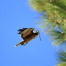 Red Tail Hawk Nesting by DARRIN ALDRIDGE