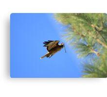 Red Tail Hawk Nesting Metal Print