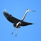 Great Blue Heron Flies to the Nest by DARRIN ALDRIDGE