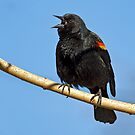 MALE RED-WINGED BLACKBIRD by Sandy Stewart