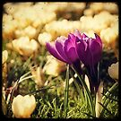 Crocuses #2 by Marc Loret