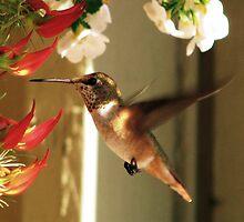 Rufous Hummingbird by Brenda Boisvert