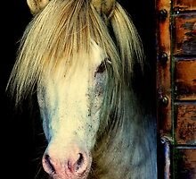 Pony portrait by Alan Mattison IPA