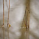 Common Reed by Henri Ton
