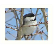 Cute chickadee sits on a branch in early spring Art Print