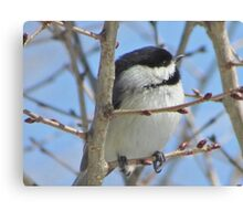 Cute chickadee sits on a branch in early spring Canvas Print