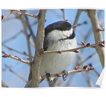 Cute chickadee sits on a branch in early spring Poster