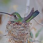Nesting Boardbilled Hummingbird by Judy Grant