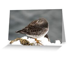 Purple Sandpiper in the Snow - Gloucester, Massachusetts Greeting Card