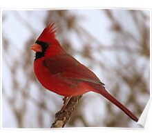 I Look Stunning!  Don't I?  (Northern Cardinal) Poster