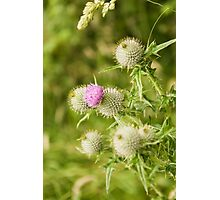 Borrowdale Thistle Photographic Print