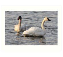 Tundra Swans Art Print