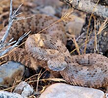 Adult Panamint Rattler by Chris Morrison