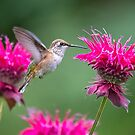 Hummingbird at the Bee Balm by Tracy Riddell