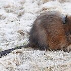 Muskrat Looking for food. by bozette
