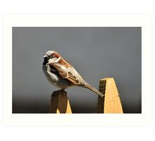 House sparrow sits on a picket fence Art Print