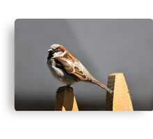 House sparrow sits on a picket fence Metal Print