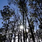 Midday Sun through the Eucalyptus, Kinglake Forest National Park, Victoria by Reneefroggy