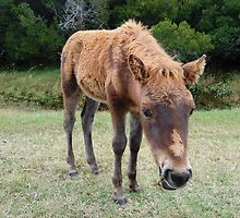 Wee Little Babe-Wild Colt-Assateague Island by Sandy O'Toole