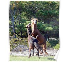 Bring It On! Wild Horse Fight, Assateague Island Poster