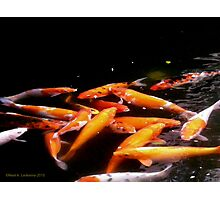 Koi in a pond Photographic Print