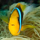 Orange-fin Anemonefish - Amphiprion chrysopterus by Andrew Trevor-Jones