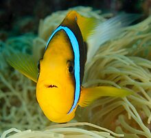 Orange-fin Anemonefish - Amphiprion chrysopterus by Andrew Trevor-Jones