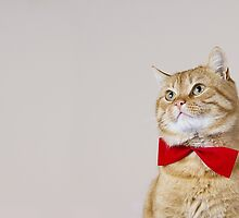 Red Cat sitting and looking up with a red ribbon,bow isolated on grey background. by CebotariN