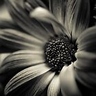 Black and white Gerbera by dobseh