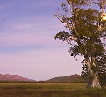 Cazneaux Tree at dawn, Wilpena, South Australia by Neville Jones