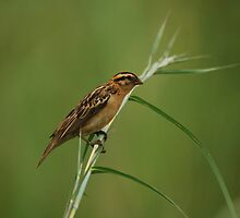 Pin-tailed Whydah by Nick Hart