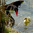 Black Swan with New Chick by Robert H Carney