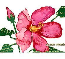 Hibiscus palustris (Swamp Rose Mallow) Photographic Print