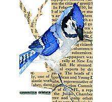 Cyanocitta  Cristata #3 (Blue Jay #3) Photographic Print