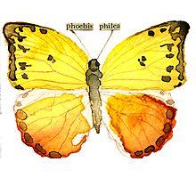 Phoebis philea (Orange Barred Sulphur) Photographic Print