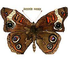Junonia coenia (Buckeye Butterfly) Photographic Print