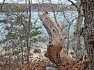 Twisted Tree Stump - The Knob, Cape Cod, MA by MotherNature