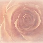 Soft rose by aMOONy