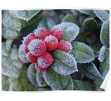 frosted red berries Poster