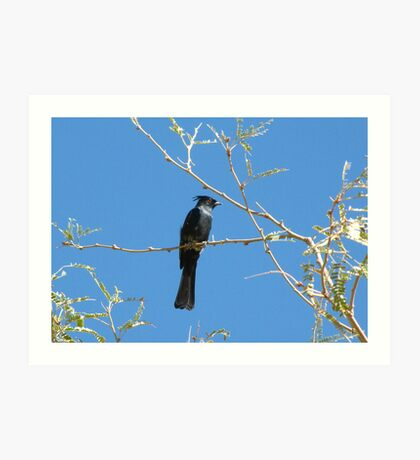 Phainopepla ~ Male Art Print